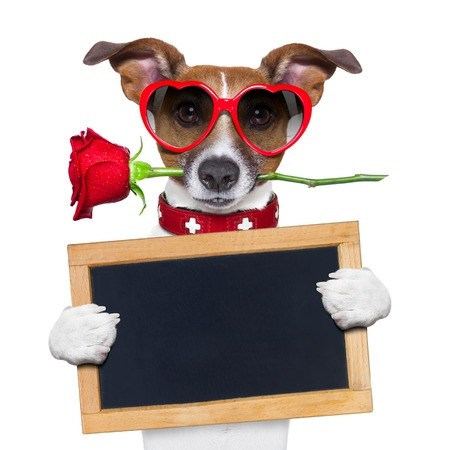 Terrier love dog with heart glasses and red rose holding blackboard